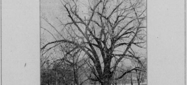 Mormon Tree, Florence, Nebraska 1920